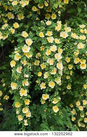 Yellow Dog Rose Bush, Full Bloom