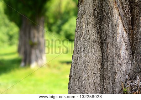 Black poplar bole with blurred background, outdoor photog