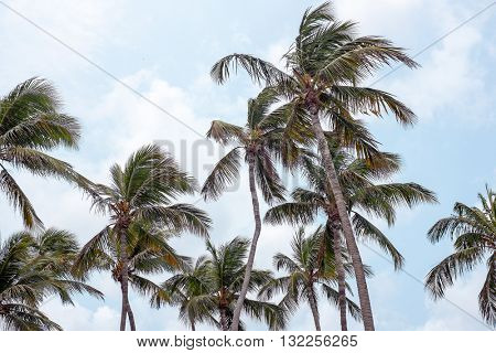Palm trees waving in the wind on Aruba island in the Caribbean
