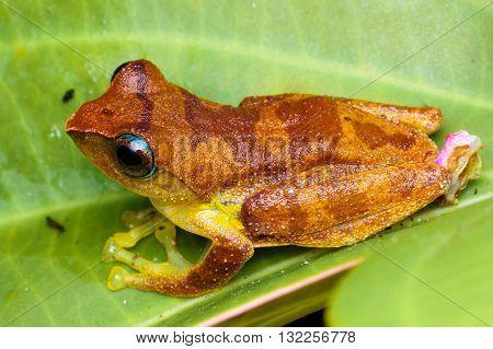 Gading Tree Frog (Rhacophorus gadingensis) from Kinabalu National Park