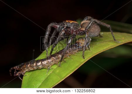 Wandering spider with a centipede prey from Kinabalu National Park