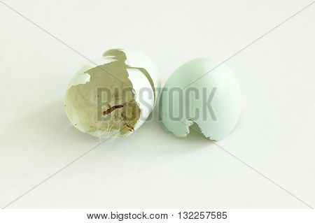 thrush blue eggshell two halves after just hatched newborn bird
