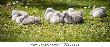 seven cygnets on edge of lake sleeping in the sunshine