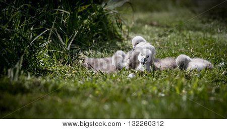Bundle of cygnets sat on grass at lake edge enjoying the sunshine