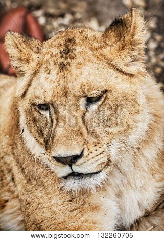 Portrait of a Barbary lion - Panthera leo leo. Animal portrait. Lioness closeup. Atlas lion. Critically endangered species. Animal background.