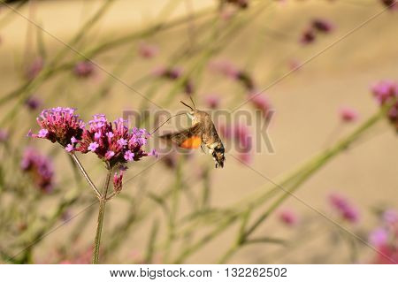 hummingbird hawk-moth (Macroglossum stellatarum) Alps France Moth Contamines Montjoie