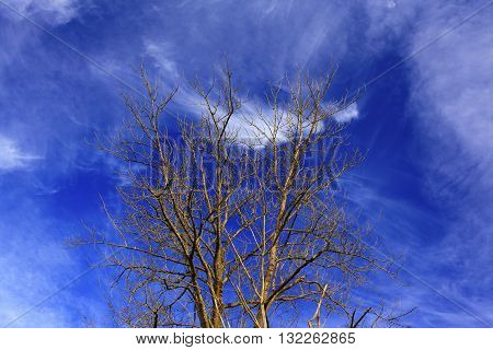a picture of an exterior Pacific Northwest Black cottonwood tree