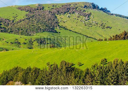 Sheep and pastures in the New Zealand - hills covered by green grass with herds of sheep - near Dunedin at Otago Region Southern island New Zealand