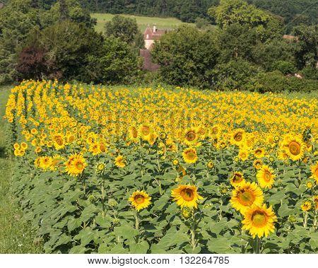 A field of sunflowers in France's Dordogne region