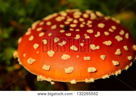 Amanita muscaria, commonly known as the fly agaric or fly amanita, in the Alps
