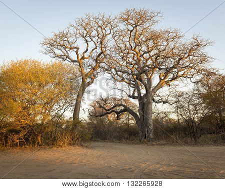 Africa Trees