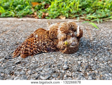 Owl hit by car, dead bird laying on road