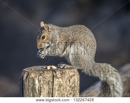 Sciurus carolinensis common name eastern gray squirrel or grey squirrel depending on region is a tree squirrel in the genus Sciurus