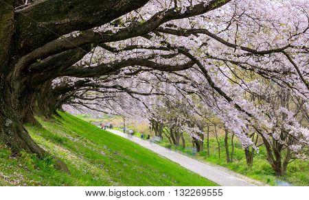 Cherry blossom at Sewari river bank Kyoto Japan