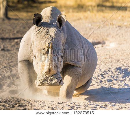 White Rhino Angry