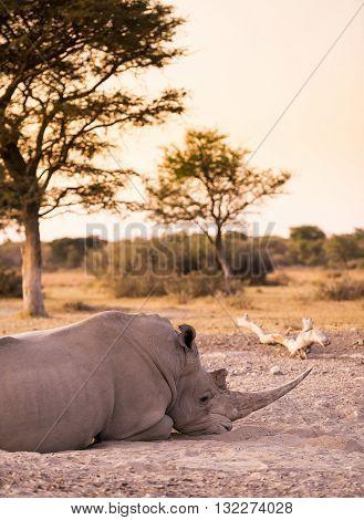White Rhino Resting