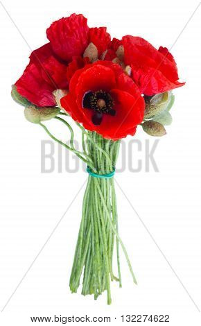 Posy of Poppy red fresh flowers isolated on white background