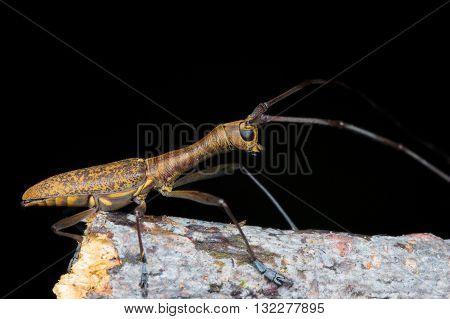 Longhorn Beetle (Gnoma confusa) from Kinabalu National Park.