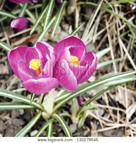 First crocus flowers. Spring blossoms. Aged photo. Violet crocuses in the park.
