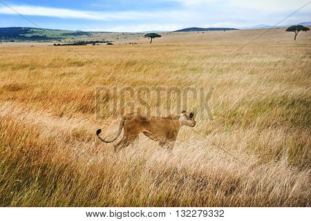 Lioness walks in the grass in Kenya Africa