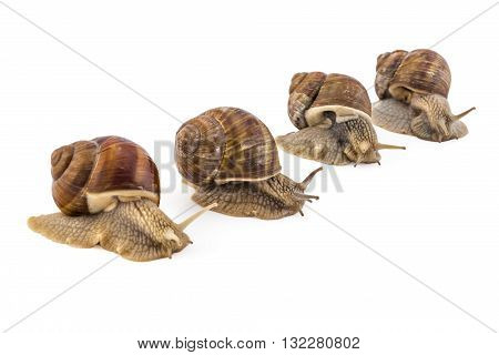 Competition of four garden snails (Helix aspersa) on white background. Teamwork concept, race.