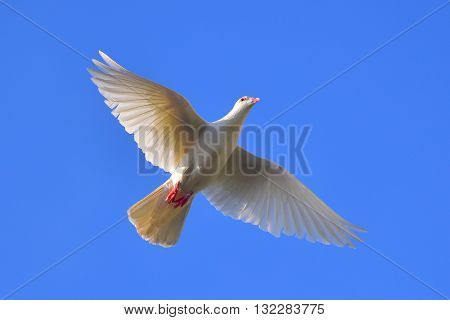 White Pigeon: A white pigeon in flight wings spread against clear blue sky symbolizing Peace