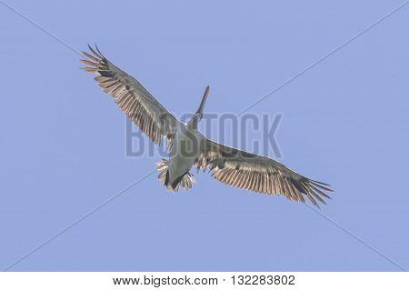 GREY PELICAN: a grey pelican found in asia shot from below