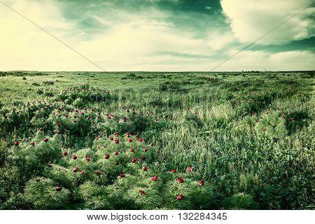 Vintage Wild Peonies In Steppe