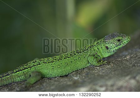 Green lizard on the stone background. Animals.