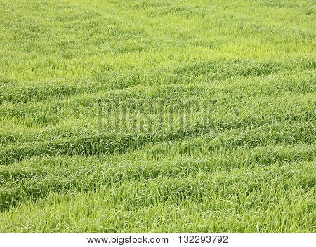 fresh thick grass, background of green grass, summer background