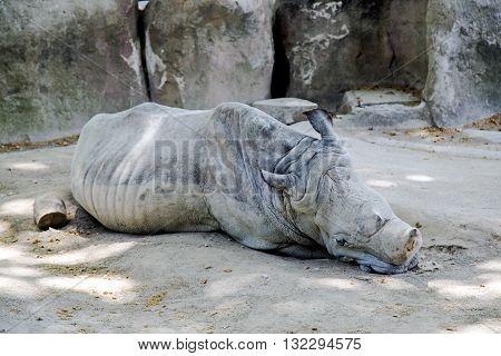Sleeping white rhinoceros (Ceratotherium simum) at Barcelona Zoo, Parc de la Ciutadella, Spain