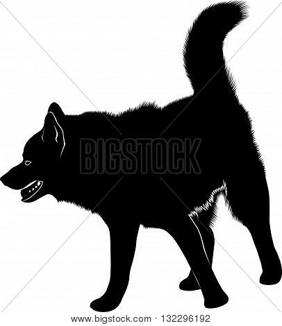 laika. Siberian Laika. Husky dog. Husky dog pet favorite of black silhouette isolated on white background