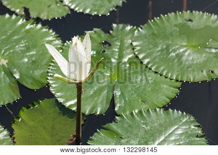 White water lily blossom among green algae in the lake at Pura Taman Ayun. Bali