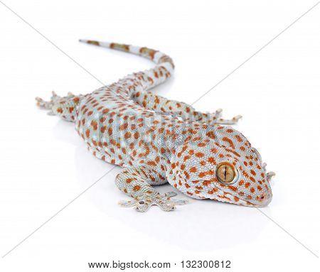 Gecko isolated on white background animal white