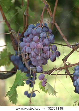 Close-up of bunches of red wine grapes on the vine
