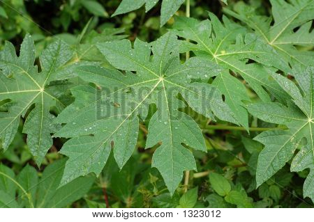 Papaya Leaves