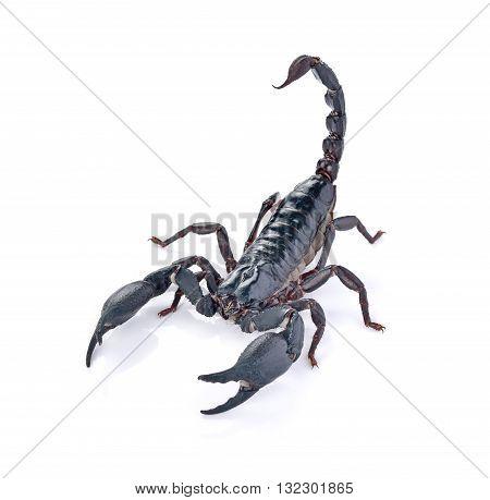 Scorpion on white background animal nature black