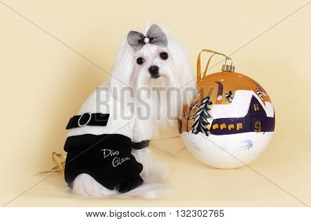 cute dog Maltese new year in a glamorous suit with a ball Flirty looks
