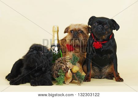 a group of Griffon Bruxellois dogs in the neighborhood with Christmas decorations and champagne