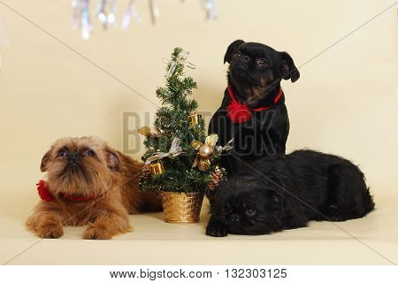 group of dogs Griffon Bruxellois next to the Christmas tree in the Studio