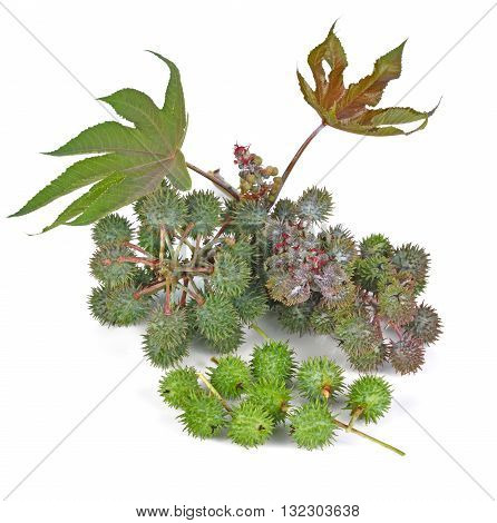 Castor oil plant on white background green seed