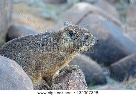 Rock daman (Heterocxyrax-Latin) Rock Hyrak. Namibia Africa