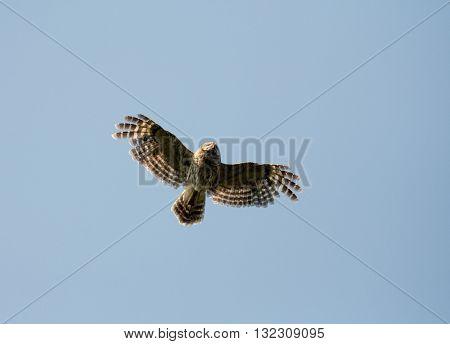 Barred Owl In Flight