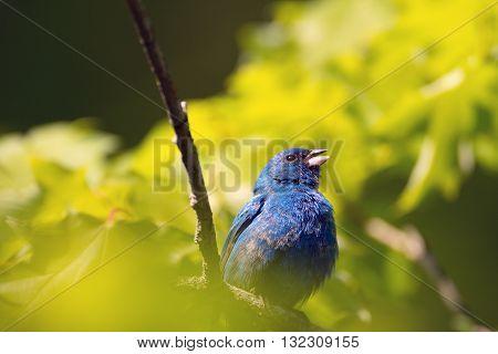 Indigo Bunting In A Tree