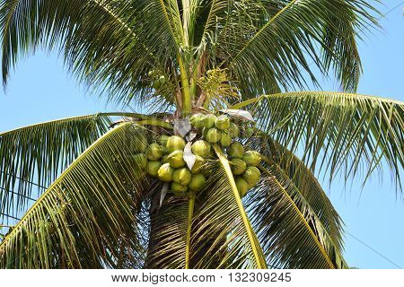 Coconut fruits on tree, coconut garden, a lot of coconut