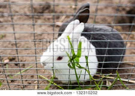 Young cute rabbit outdoors in farm animal enclosure on a sunny day.