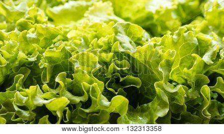 background texture of fresh lettuce leaves close-up