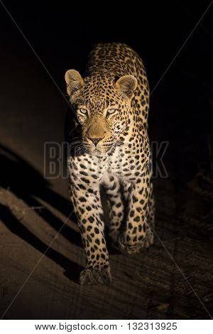 Big strong male leopard walking in nature at night in darkness