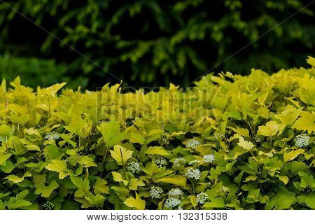 Green hedge or green bush isolated on park background. Tall hedge, endless seamless pattern, tall hedge with grass.