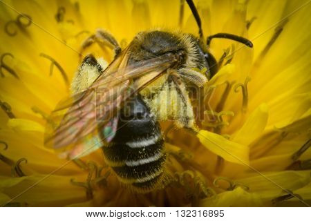 Macro close up sweat bee pollinating yellow flower